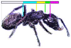 Ameise - Seitenansicht